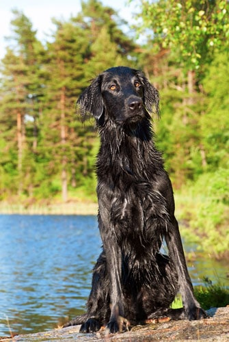 Flat-Coated-Retriever-nass