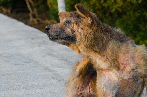 Haarausfall-Hund