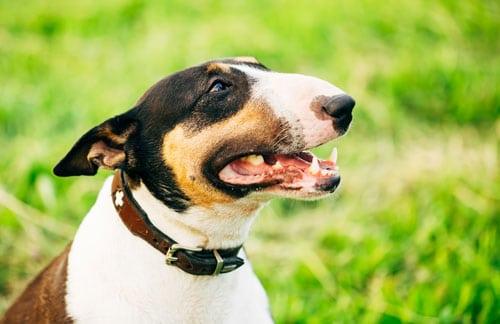 Bull-terrier-gesicht