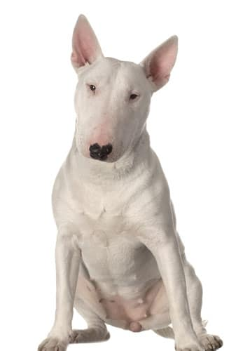 Bull-terrier-weiss