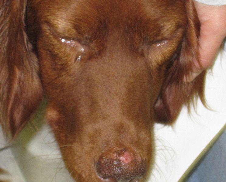 Leishmaniose bei einem Hund mit Ulzeration und Pigmentverlust am Nasenspiegel und Konjunktivitis