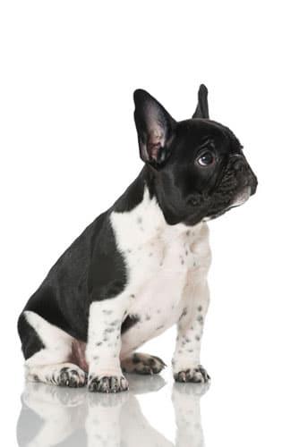 franzoesische-Bulldogge-welpe