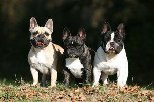 franzoesische-Bulldoggen