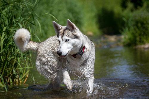 husky-im-wasser