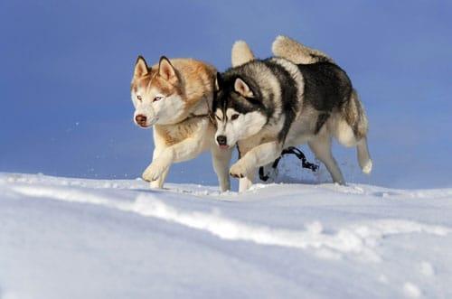huskys-rennen
