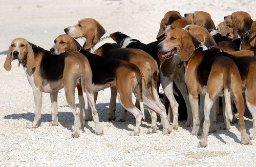 English-Foxhounds