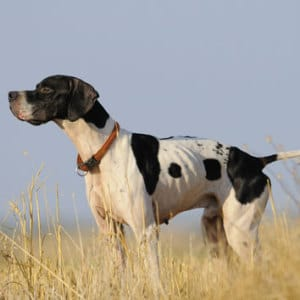 English-Pointer-im-stand