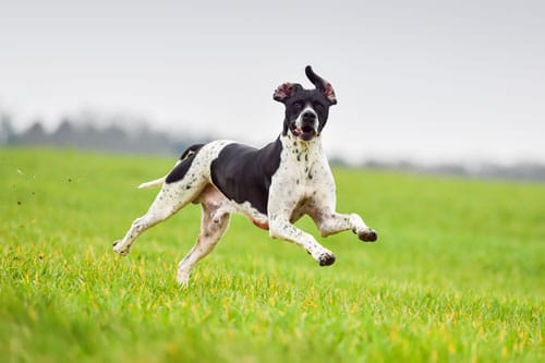 English-Pointer-rennend