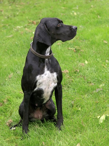 English-Pointer-schwarz