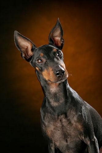 Manchester-Terrier-Portrait