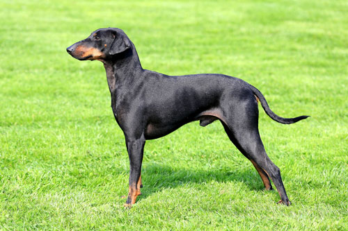 Small Dogs Miniature Pinscher