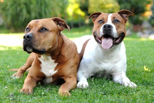 2-Staffordshire-Terrier