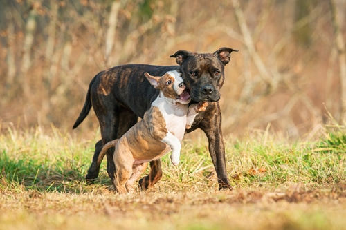 American Staffordshire Terrier Hunde