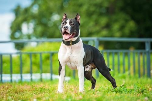 American Staffordshire Terrier Hunde