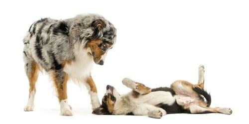 Hund unterwirft sich