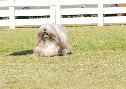 Lhasa-Apso-rennend