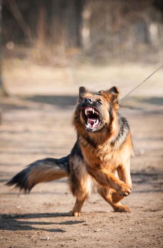 agressiver Hund- Bogen drum machen!