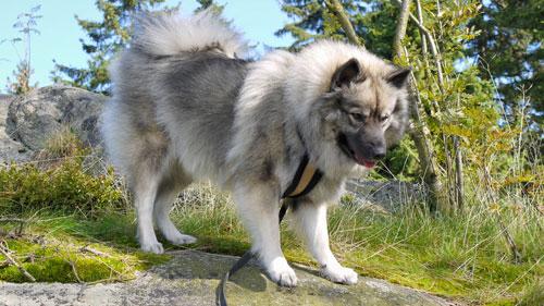 Wolfsspitz