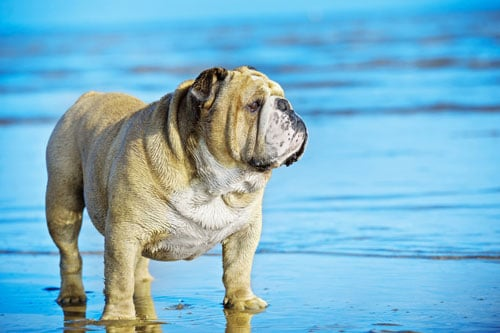Bulldogge-am-Strand
