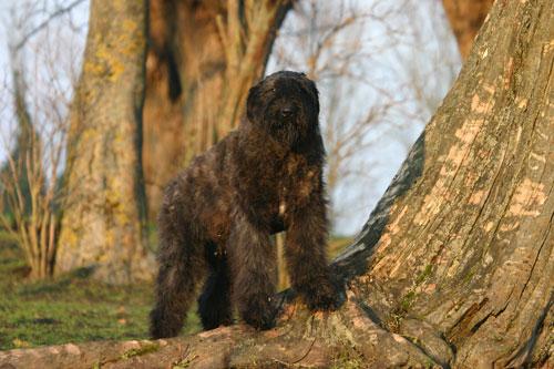 Flandrischer-Treibhund