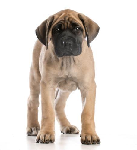 Mastiff-welpe