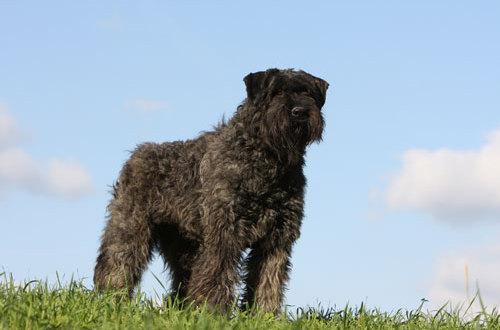 Hund Bouvier