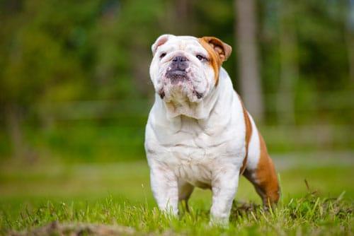 englische-Bulldogge