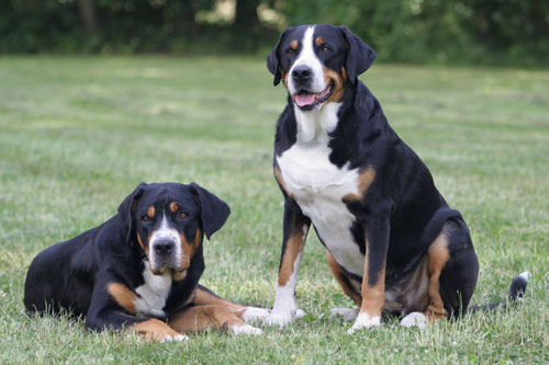 schweizer-sennenhunde