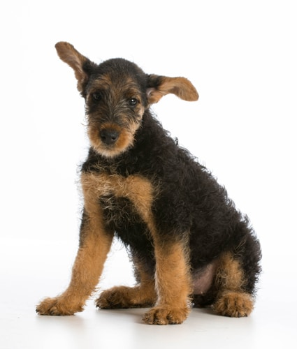 Airedale-Terrier-Welpe