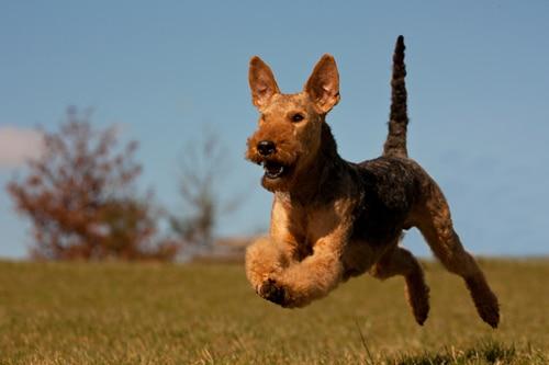 Airedale-Terrier-lebensfreude