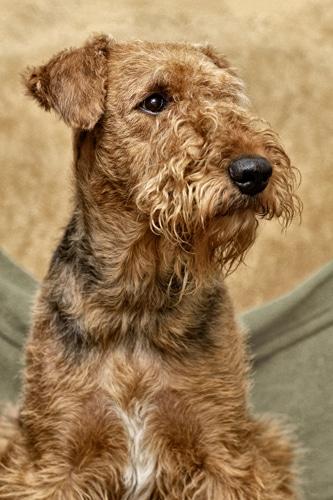 Airedale-Terrier-portrait