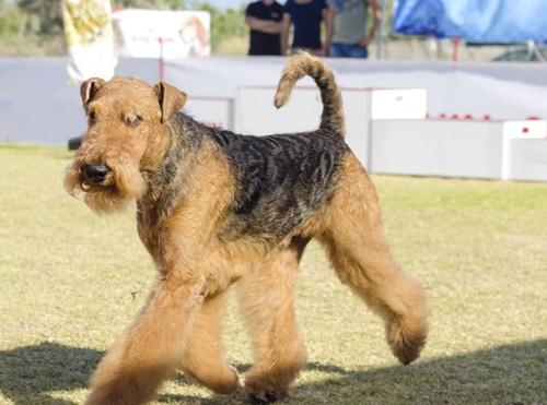 Airedale-Terrier-schau