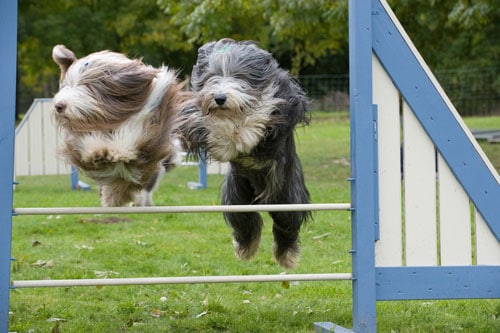 Bearded-Collie-im-Sprung