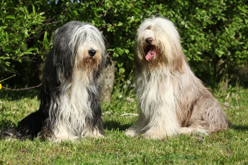 Bearded-Collies