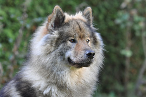 Wolf And Dog Breed