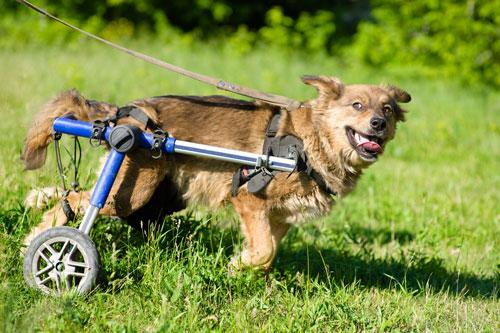 Hund-mit-Laehmung