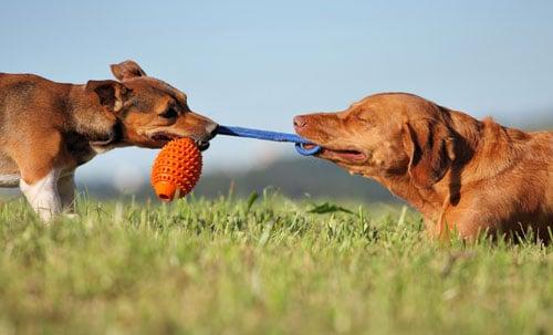 Hunde-spielen