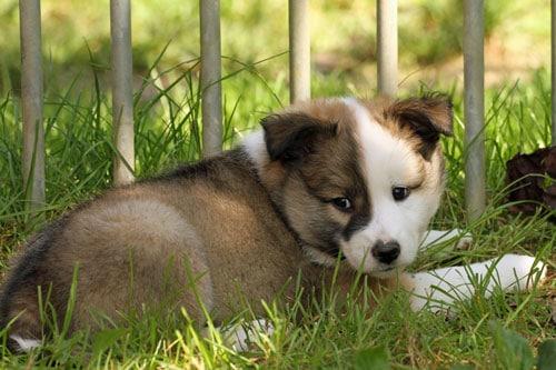 Islandhund-Welpe