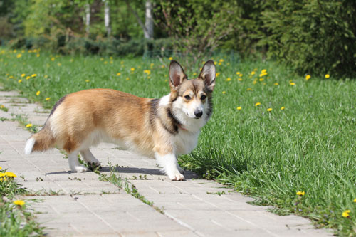 Welsh-Corgi-Cardigan3