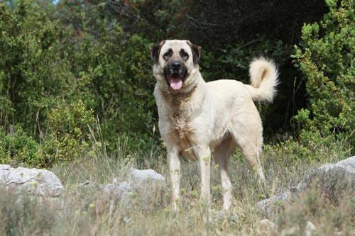 anatolischer-Hirtenhund