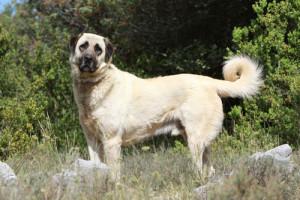 anatolischerHirtenhund