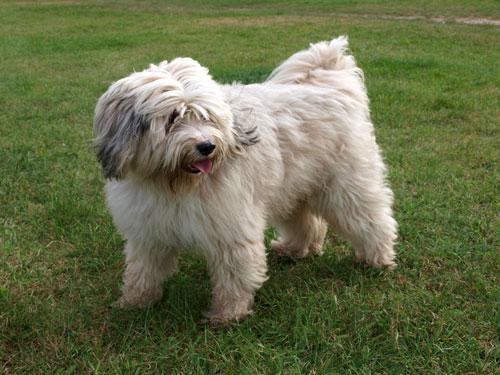 heller-tibet-terrier