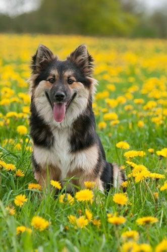 junger-Islandhund