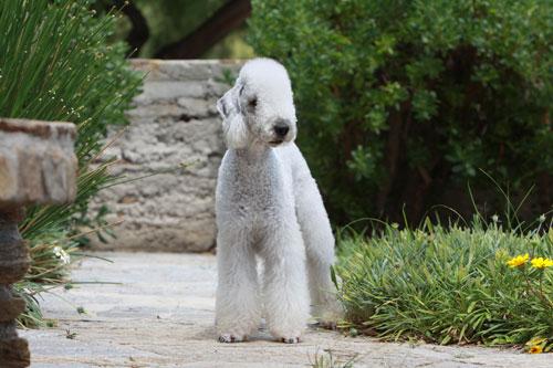Bedlington-Terrier--von-vor