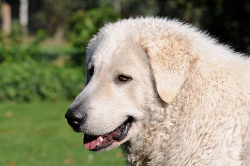 Herdenschutzhund Kurvasz