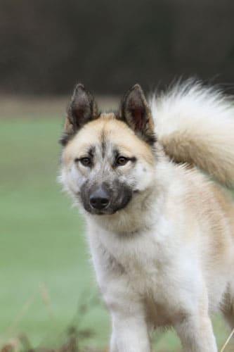 groenland-hund