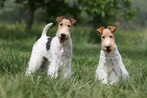 Foxterrier-Paar
