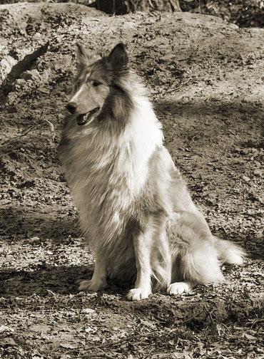 Der wohl berühmteste Filmhund aller Zeiten: Lassie