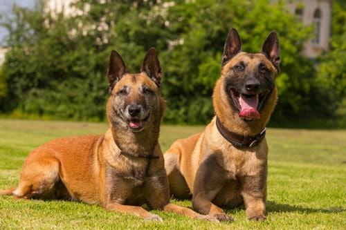 belgische-schaeferhunde