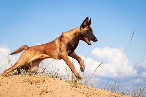 belgischer-schaeferhund-im-